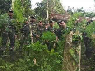 Prajurit Satgas Pamtas Yonif 126/KC Temukan Ladang Ganja Di Perbatasan RI-PNG /theeast.co.id
