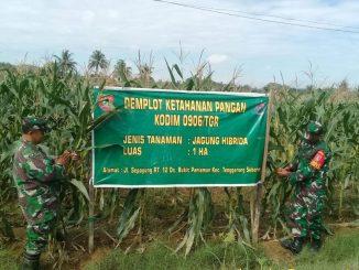 Kodim 0906/Tenggarong Panen Jagung Di Lahan Demplot/theeast.co.id